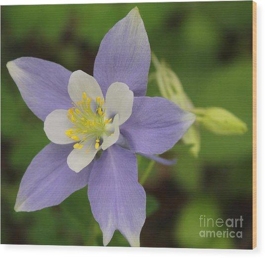 Lavender Blue Wild Columbine Wood Print