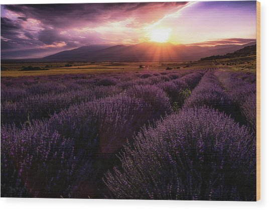 Lavender Field At Sunset Wood Print
