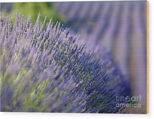 Lavender Flowers In A Field Wood Print by Sami Sarkis