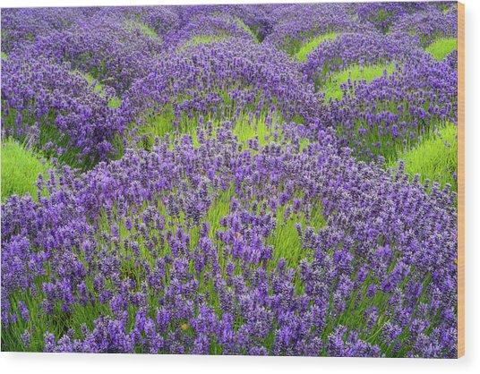 Lavender In Blooming Wood Print