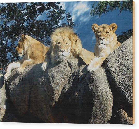 Lazy Day Lions Wood Print