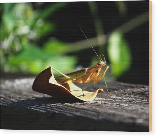 Leafy Praying Mantis Wood Print