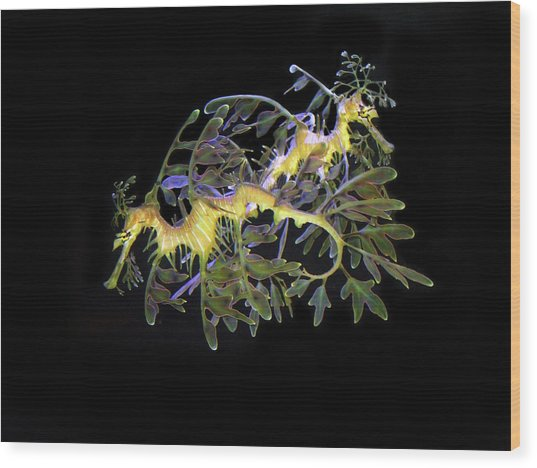 Leafy Sea Dragons Wood Print