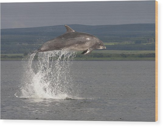 Leaping Bottlenose Dolphin  - Scotland #39 Wood Print