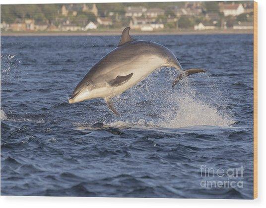 Jolly Jumper - Bottlenose Dolphin #40 Wood Print