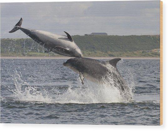Leaping Bottlenose Dolphins - Scotland  #38 Wood Print