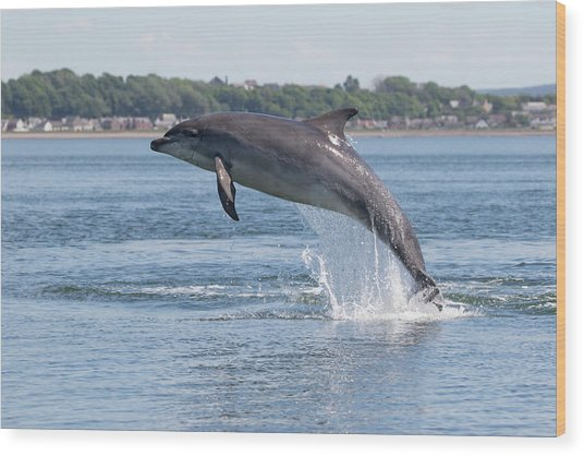 Wood Print featuring the photograph Leaping Dolphin - Moray Firth, Scotland by Karen Van Der Zijden