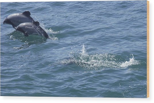 Leaping Hector's Dolphins Wood Print