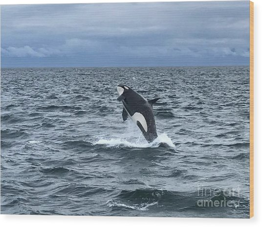 Leaping Orca Wood Print