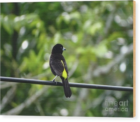 Lemon-rumped Tanager Wood Print