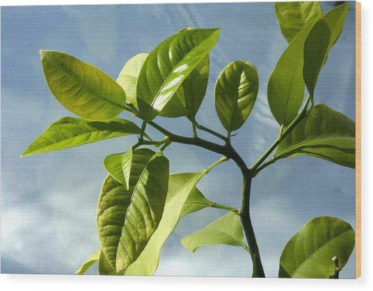 Lemon Tree Wood Print by Paula Deutz