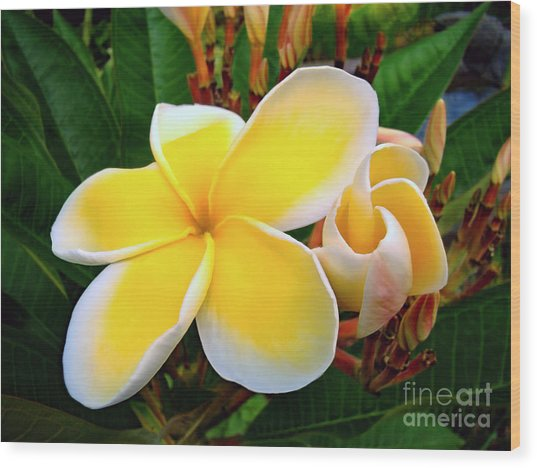 Lemon Yellow Plumeria Wood Print