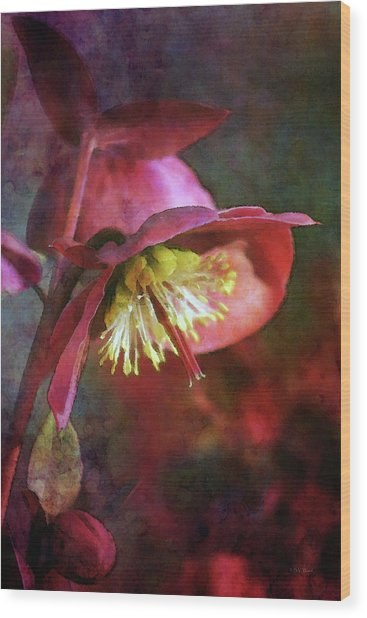 Lenten Rose Bowing To The Sun 8712 Idp_2 Wood Print