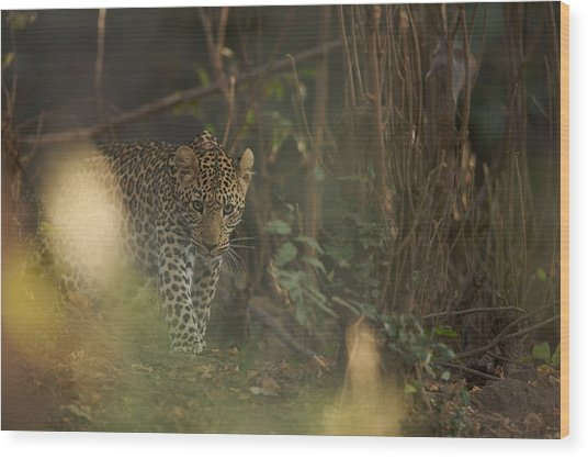 Leopard Comes Out Of The Bush Wood Print by Johan Elzenga