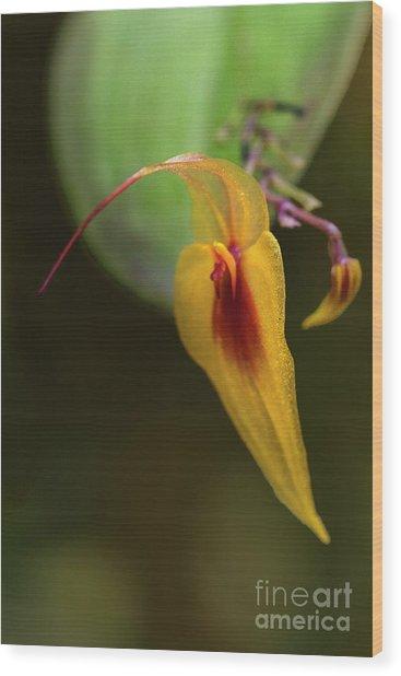 Lepanthes Maxonii Orchid Macro Wood Print