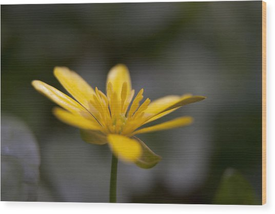 Wood Print featuring the photograph Lesser Celandine by Karen Van Der Zijden