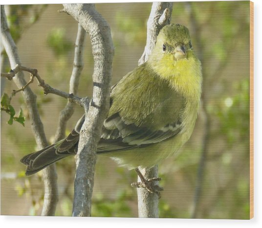Lesser Goldfinch 1 Wood Print