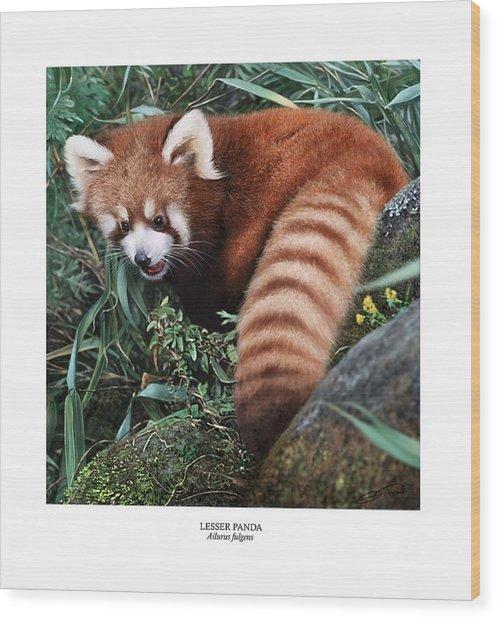 Lesser Panda Ailurus Fulgens Wood Print by Owen Bell
