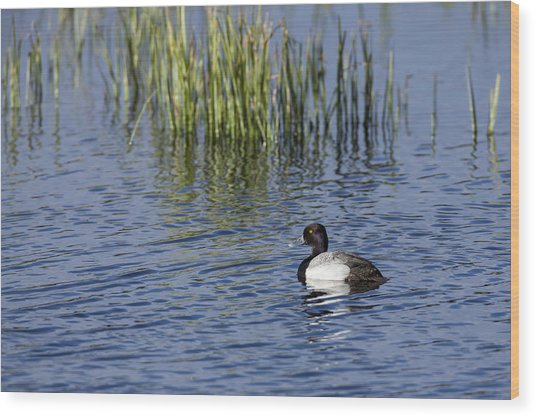 Lesser Scaup Adult Male Wood Print