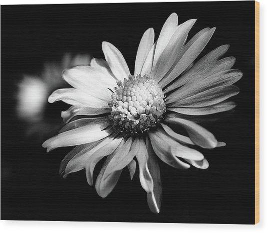 Leucanthemum Adustum Wood Print