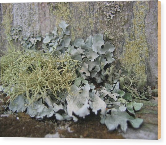 Lichen And Old Fence #2 Wood Print