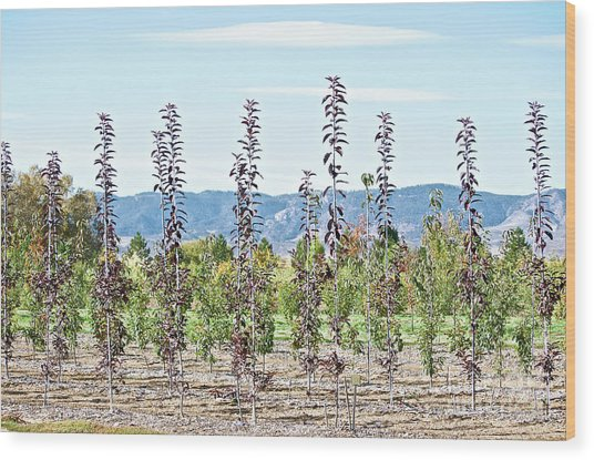 Life On A Tree Farm-foothills View #1 Wood Print