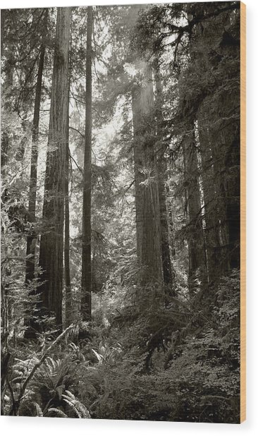 Light Through Redwoods Wood Print