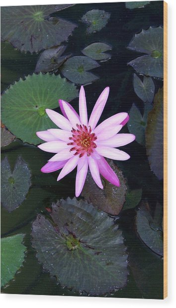 Lilly Pad Wood Print by Rebecca Cozart