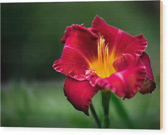 Lily Beauty Wood Print