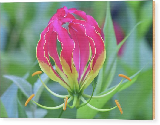 Lily In Flames Wood Print