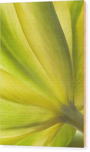 Lime Tulip Wood Print
