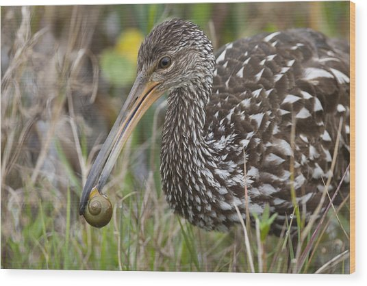 Limpkin, Aramus Guarauna Wood Print