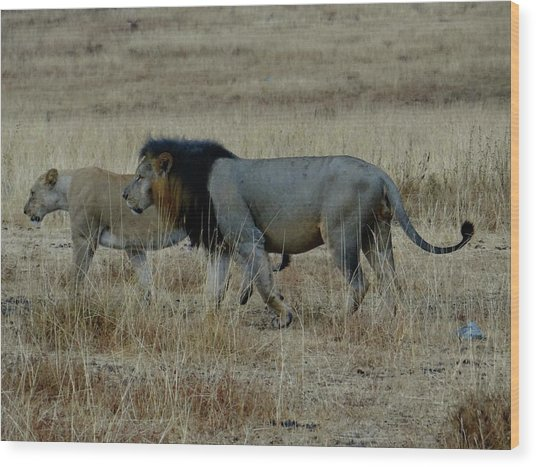 Lion And Pregnant Lioness Walking Wood Print