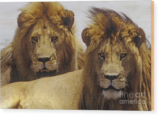 Lion Brothers - Serengeti Plains Wood Print