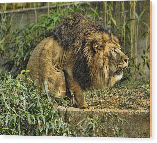 Lion Calling Females Wood Print by Keith Lovejoy