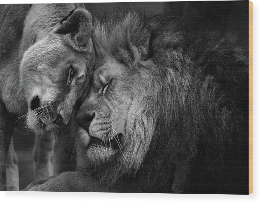 Lion In Love 2 Wood Print