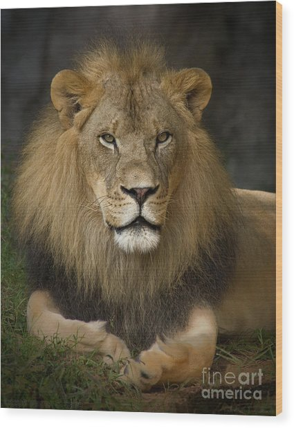 Lion In Repose Wood Print