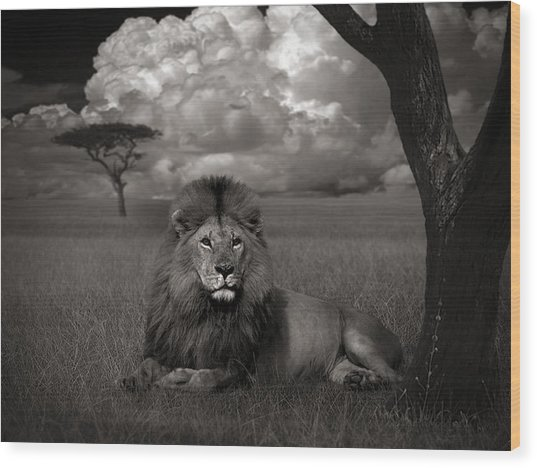Lion In The Grass Wood Print