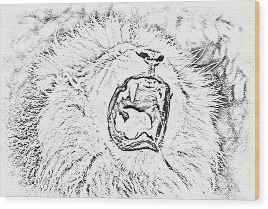 Lion Roar Drawing Wood Print