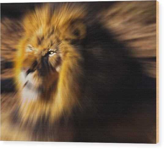 Lion The King Is Comming Wood Print