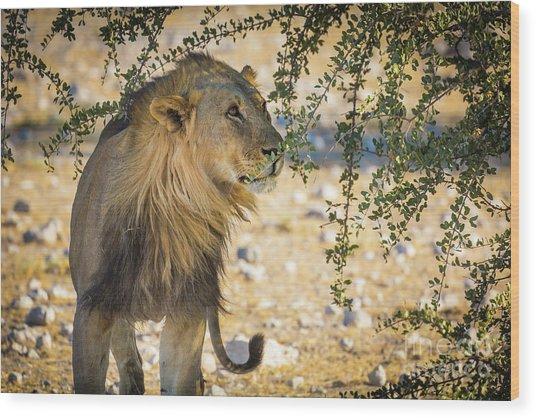 Lion Under Acacia Tree Wood Print