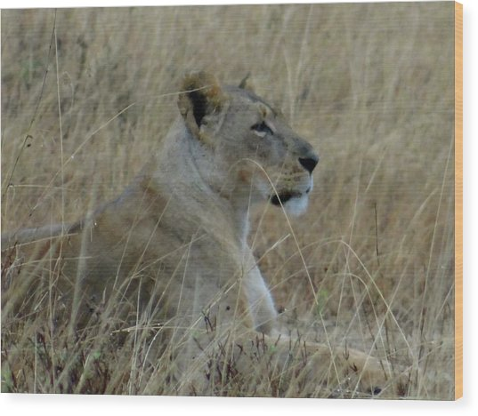 Lioness In The Grass Wood Print