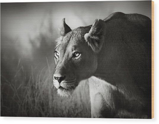 Lioness Stalking Wood Print