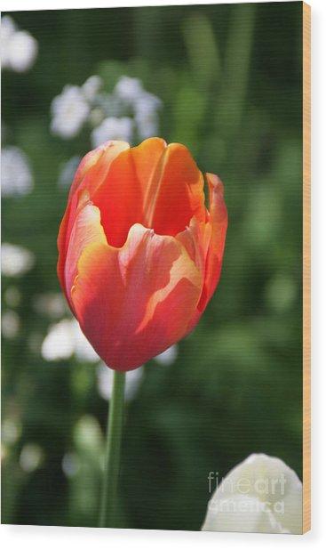 Lit Tulip 02 Wood Print