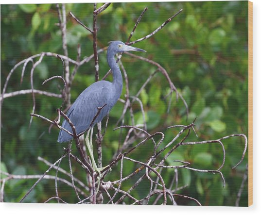 Little Blue At Trinidad's Caroni Swamp Wood Print