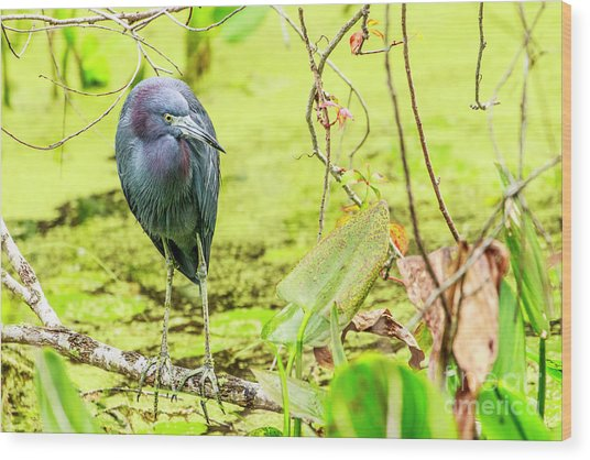 Little Blue Heron At Ollie's Pond Wood Print