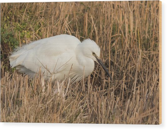 Little Egret Concentrating Wood Print