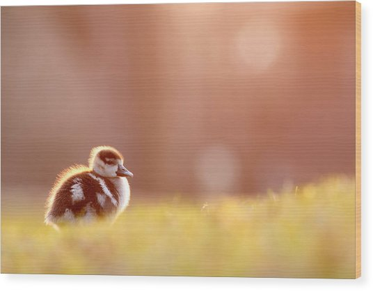 Little Furry Animal - Gosling In Warm Light Wood Print