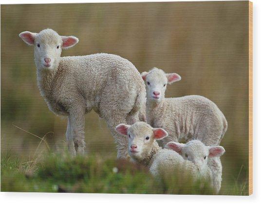 Little Lambs Wood Print