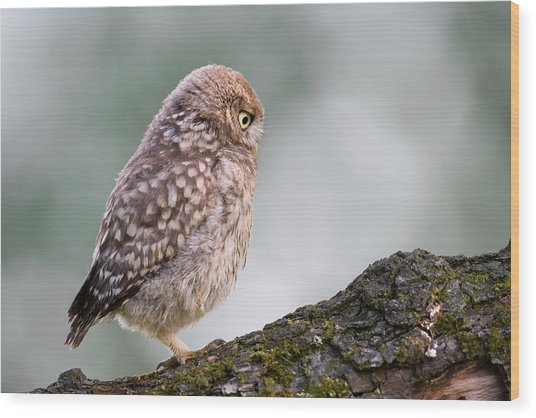 Little Owl Chick Practising Hunting Skills Wood Print